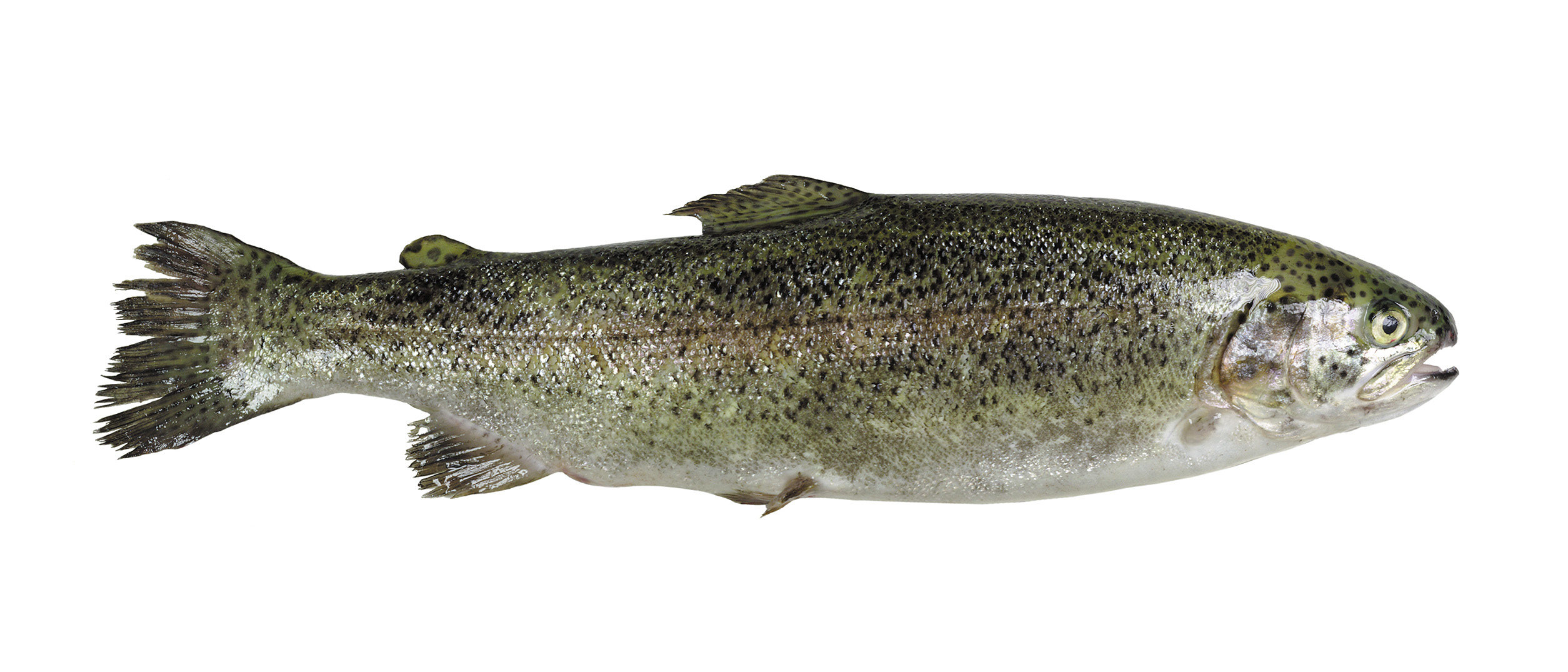 STEELHEAD TROUT WHOLE FISH Image
